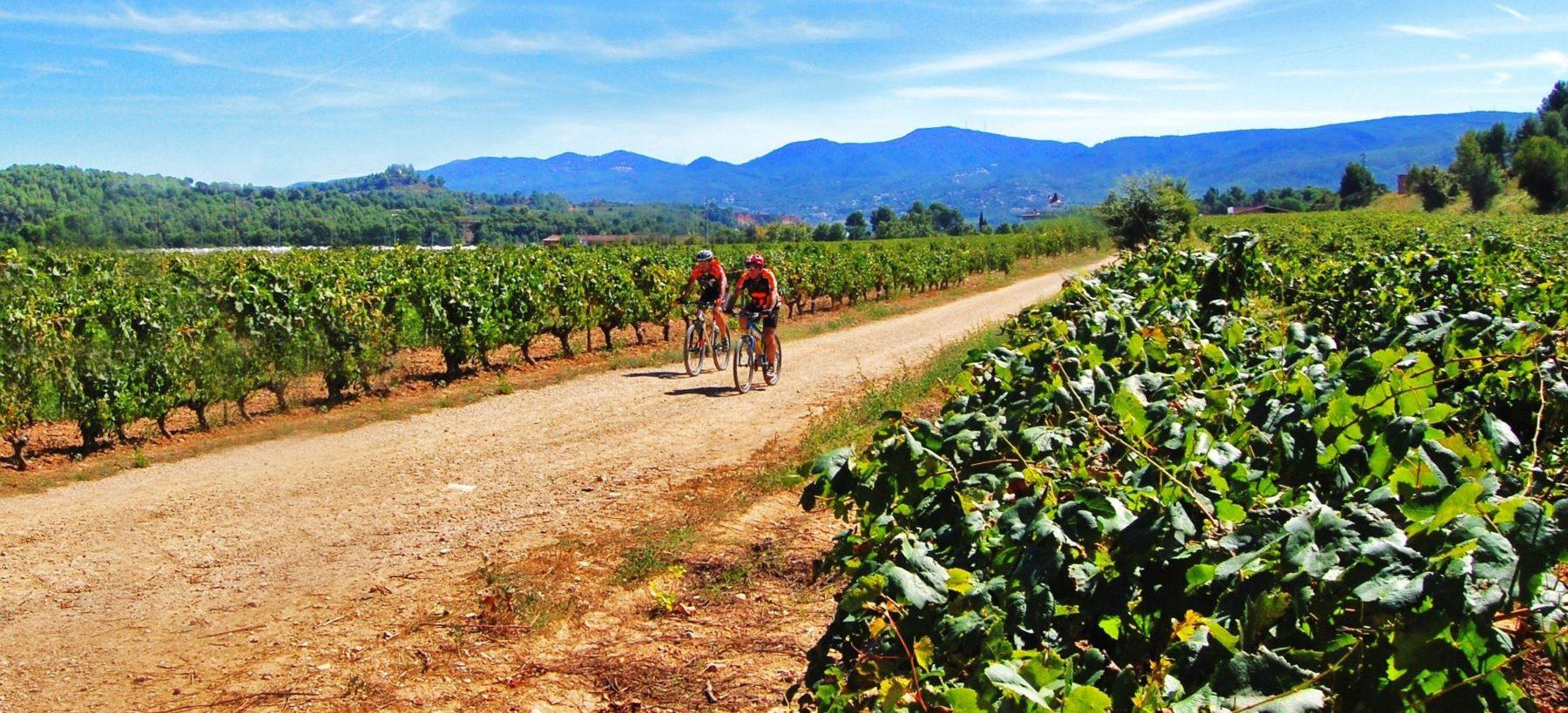 Pyöräilijät viiniviljelmien keskellä.